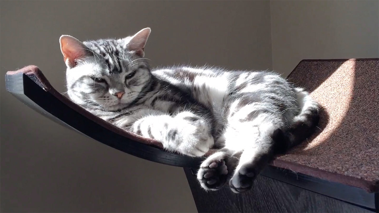 American Shorthair Cats – Daphne & Sophie